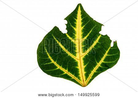 The green Leaf . with holes eaten by pests on white background
