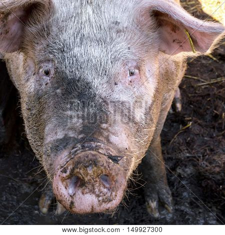 Dirty pig in mud on the farm looking the camera.