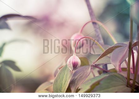 Flower bud looking dreamy in whimsical light of a magic spring evening.