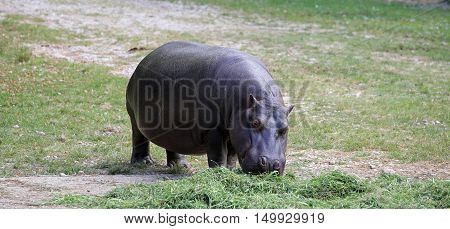 Fat And Heavy Hippo With Shiny Skin And Small Ears