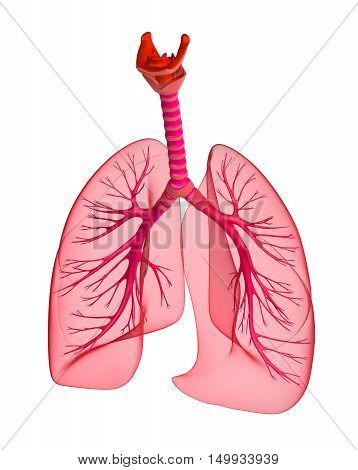 Human lungs and trachea. 3d render,isolated on white