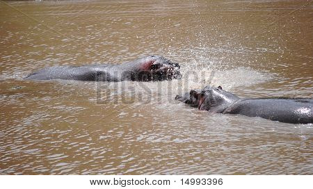 Hippos Playing With Water