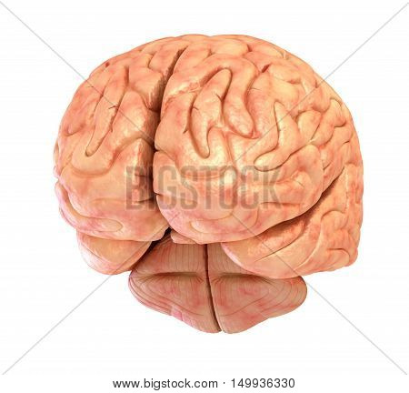 Human brain 3D model isolated on white