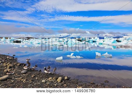 Floes floating in the ocean, and polar birds on the shore of the ocean lagoon. Yokulsarlon Glacial Lagoon in Iceland