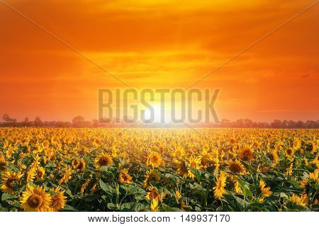 Field of blooming sunflowers on a background of a beautiful sunset.Summer landscape.