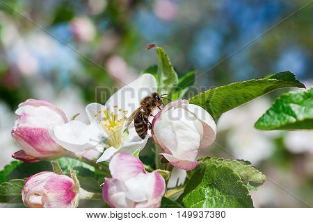 Honey bee collects nectar on the flowers apple trees.