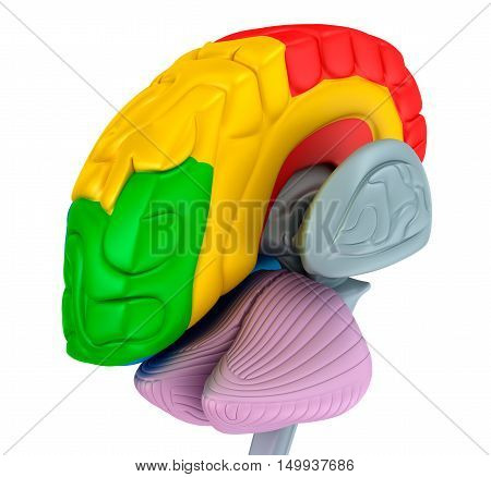 Brain lobes in different colors isolated on white . Medical accurate 3D illustration