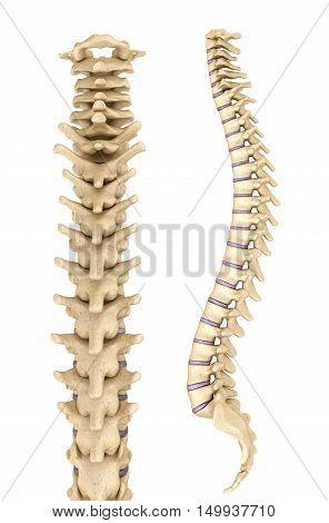 Spine anatomy 3d render, 3D render, over white