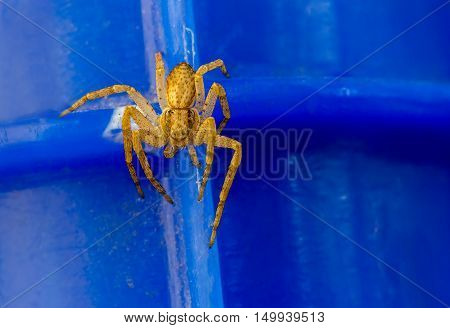 Small yellow spider on blue background. Close up