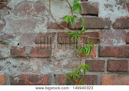 Vines of Virginia ivy creeper on background of a brick wall