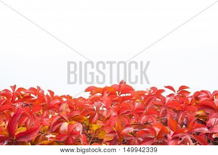 Autumn red leaves against white isolated background. Good for web banner