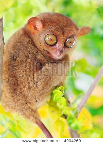 Phillipine Tarsier