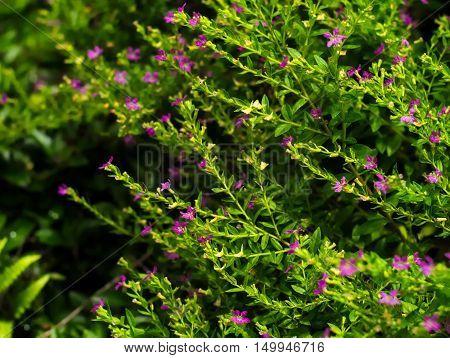 False Heather Mexican false heather Hawaii false heather elfin herb or Cuphea hyssopifolia