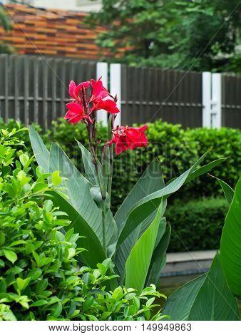 Indian shot India Short Plant India Shoot Butsarana Cannas Canna Lily or Canna indica