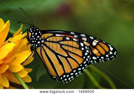 Monarch15