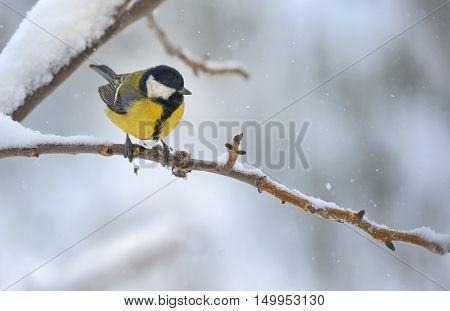 great tit on tree brunch in winter time