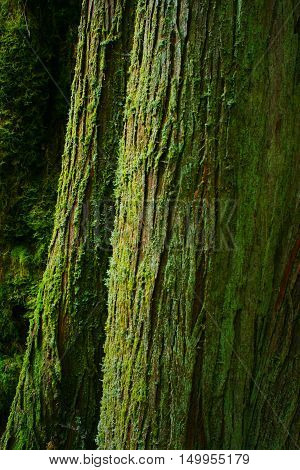 a picture of an exterior Pacific Northwest mossy old growth  Western red cedar tree trunk