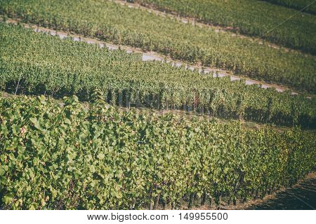 Landscape with autumn vineyards on hill. Wine making concept