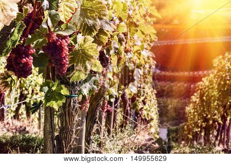 Landscape with autumn vineyards at sunset. Wine making concept