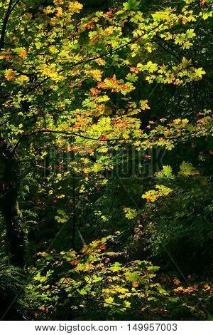 a picture of an exterior Pacific Northwest forest with a Vine maple tree in fall