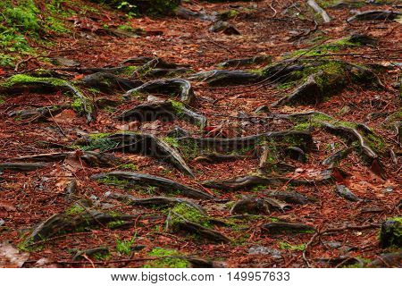 a picture of an exterior Pacific Northwest Western red cedar  tree roots