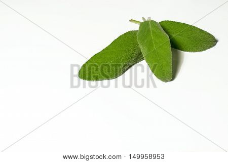 three leaves of sage in a white background