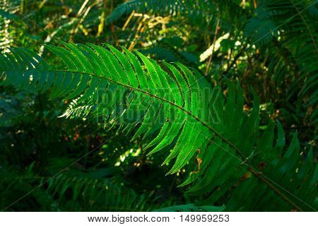 a picture of an exterior Pacific Northwest forest of a Deer fern