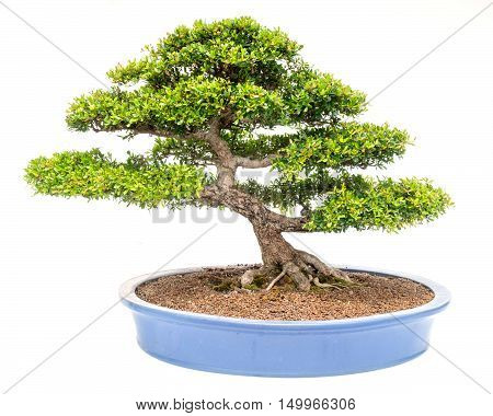 bonsai tree isolated on white in the big  room