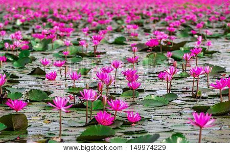 Sea of red lotus at Udonthani Thailand (unseen in Thailand)