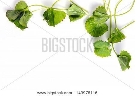Centella Asiatica Or Thankuni In Indian, Buabok Leaf In Thailand Border On White