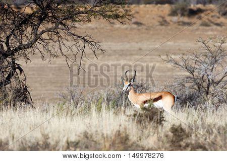 Picture Perfect Springbok In The Field