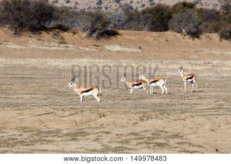 One Buck, Two Buck, Three Buck And Springbok