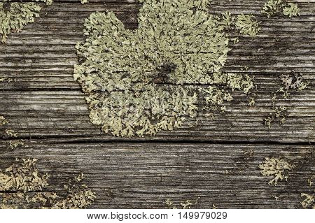 the lichen on the wood surface. natural background