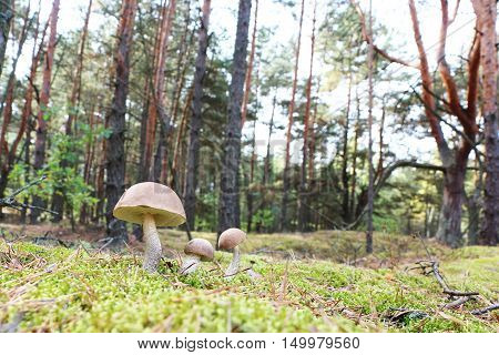 The brown-cap mushrooms grow in the green moss wood leccinums growing in the sun rays