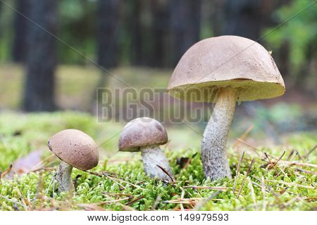 The brown-cap mushrooms grow in the green moss forest leccinums growing in the sun rays close-up photo