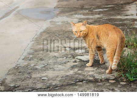Thai Stray Cat, Yellow Cat.