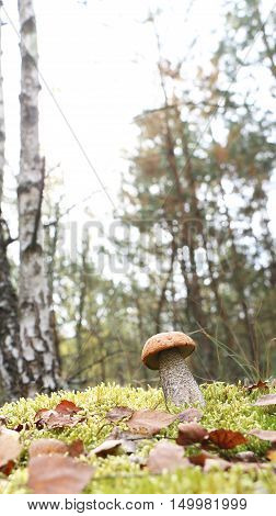 The orange-cap mushroom grow in the green moss birch forest leccinum growing in the sun rays