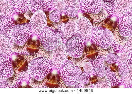 Orchid Madness