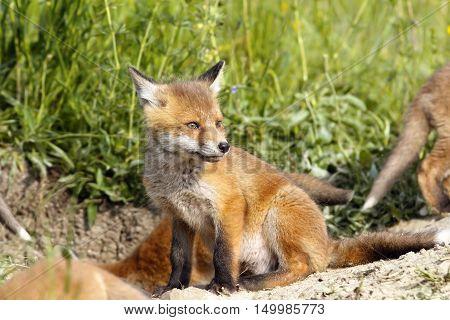 european fox cubs near the den ( Vulpes )
