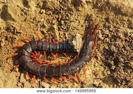 large megarian banded centipede on ground ( Scolopendra cingulata )