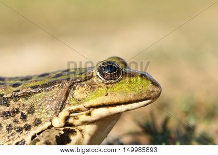 portrait of marsh frog over out of focus background profile view ( Pelophylax ridibundus )