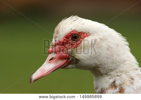 portrait of muscovy duck over green out of focus natural background ( Cairina moschata )