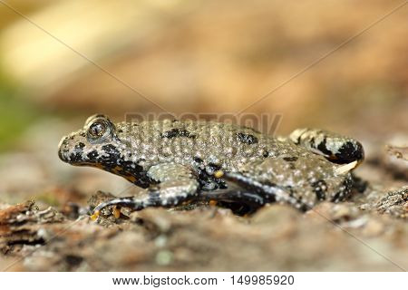 profile view of yellow bellied toad ( Bombina variegata ) full length image of animal standing on forest ground