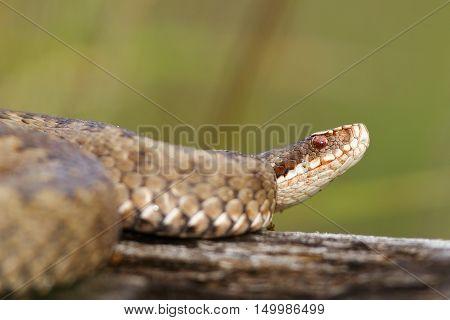 close up of female Vipera berus basking on wood stump ( european common viper )