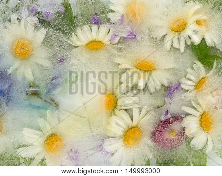 beautiful fragile ice abstraction of the delicate flowers of camomile with yellow center frozen in clear water with air bubbles