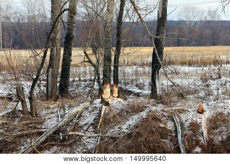 Beaver Gnawed Trees