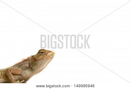 Close up of Dragon lizard isolated on white background