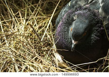 Black pigeon hatching eggs in a straw neat, closeup