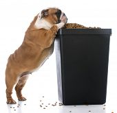 english bulldog puppy trying to sneak kibble out of dog food bin poster
