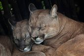 Постер, плакат: Chilean cougar Puma concolor puma also known as the Chilean puma Wildlife animal